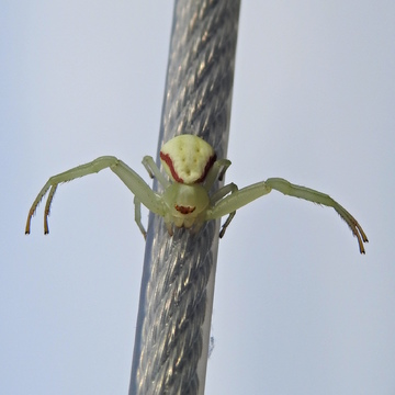 Goldenrod spider