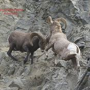 two Bighorn Rams fighting for the ewes.