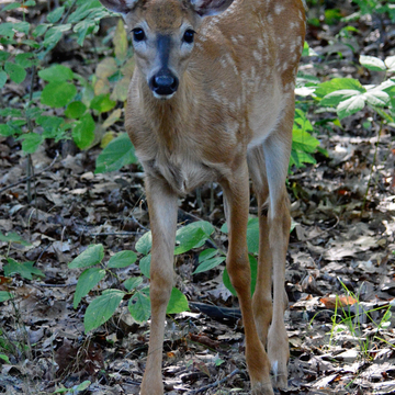 A doe and its fawn