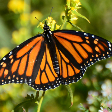 Monarch butterfly before it heads south
