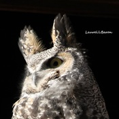 For the owl lovers