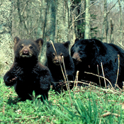 Mother bear and her 2 cubs.