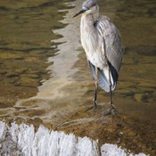 Stalking the Great Blue Herons at Sauble Falls