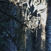 Lichen in Matured Forest and its importance.