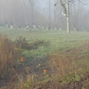 Geese chattering under the fog at Fort Whyte