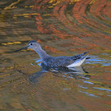 Greater Yellowlegs!