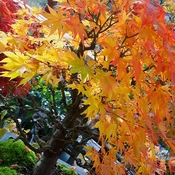 Maple bonsai in fall colours