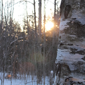 Birch Tree Sunset