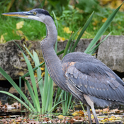 The great blue heron