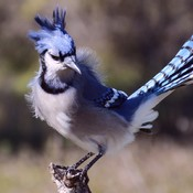 """Fluffy"" Blue Jay"