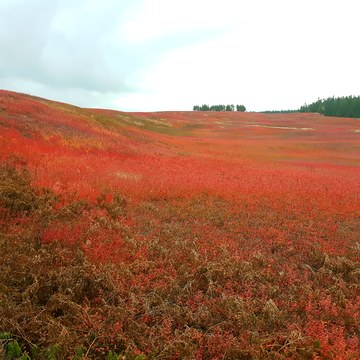 Blueberry fields in the fall