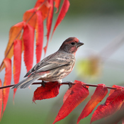 Finch and Flaming Sumac