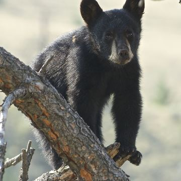 Black bear & cubs