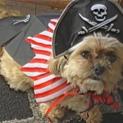 Testing my new halloween costume out ...rrr me a pirate dog...