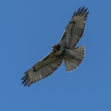 Red-tailed Hawk at Lemoines Point