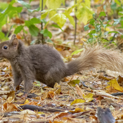 Squirrel with a Blonde Tail