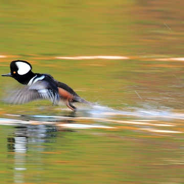 Hooded merganser in the colorful water of autumn