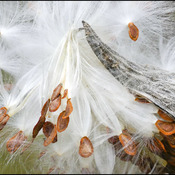 Milkweed seeds, Elliot Lake.
