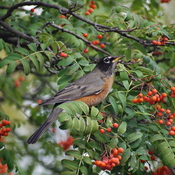 Robin feasting ready for winter