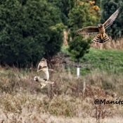 Short Earred Owl Returns To Delta BC