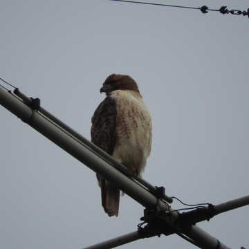 Redtail hawk on antenna