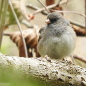 Dark eyed junco