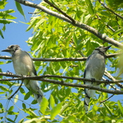Two young blue jays