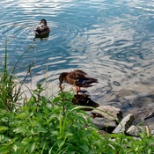 Ducks at the lake