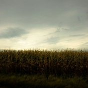 Another late summer cornfield