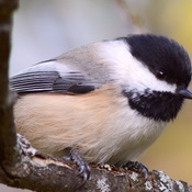 BIG chickadee