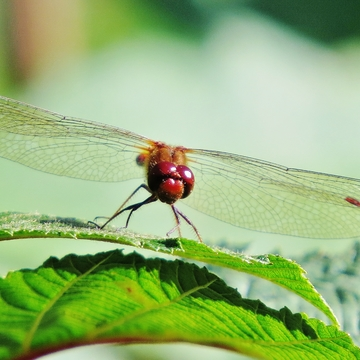 Ruby Meadowhawk at rest.