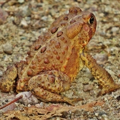 Rejuvenated Toad on Cranberry Trail.