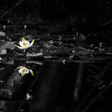 Lotus Bloom Beauty in Reflection