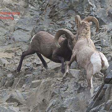Rams fighting