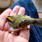 Gold-crowned Kinglet hit window