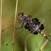 Saddlebag Dragonfly