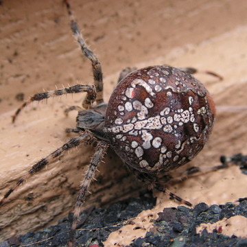 Female Araneus Diadematus Cross Orb Weaver