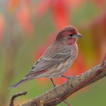Autumn Finch