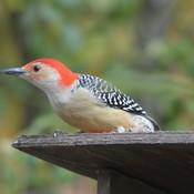 Male Red-bellied Woodpecker!