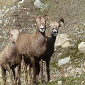 Big horn sheep n the neighbourhood