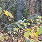 Albino red squirrel
