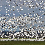 Snow Geese storm into Eastern Ontario