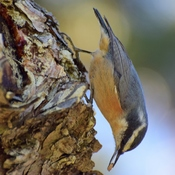 Red-breast Nuthatch