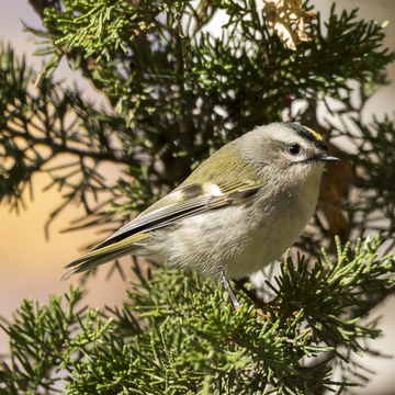Golden-crowned Kinglet at Lemoines Point