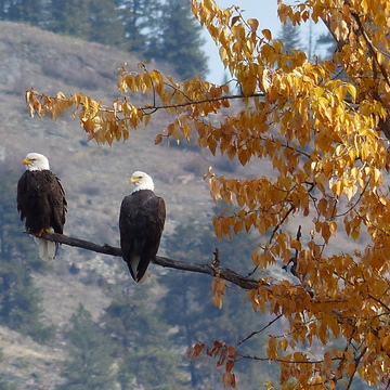 Pair of autumn bald eagles