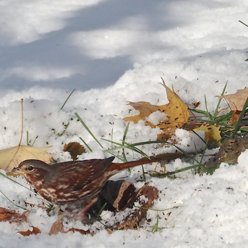 Fox Sparrows Digging in the Snow