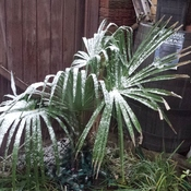 my palm tree covered in snow