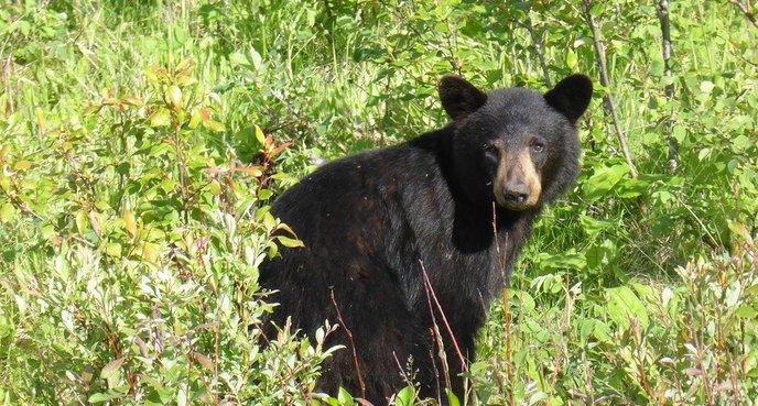 Résultats de recherche d'images pour «ours noir»