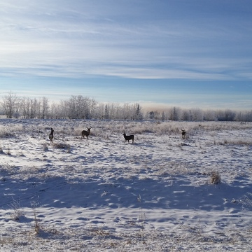 Group of deer in farmers field.
