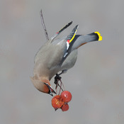 Bohemian Waxwing enjoying lunch.